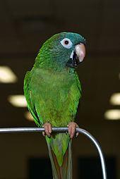 Blue-crowned parakeet httpsuploadwikimediaorgwikipediacommonsthu