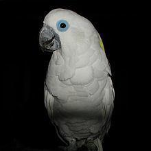Blue-eyed cockatoo httpsuploadwikimediaorgwikipediacommonsthu