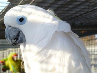 Blue-eyed cockatoo Blue Eyed Cockatoos Parrots for Sale UK