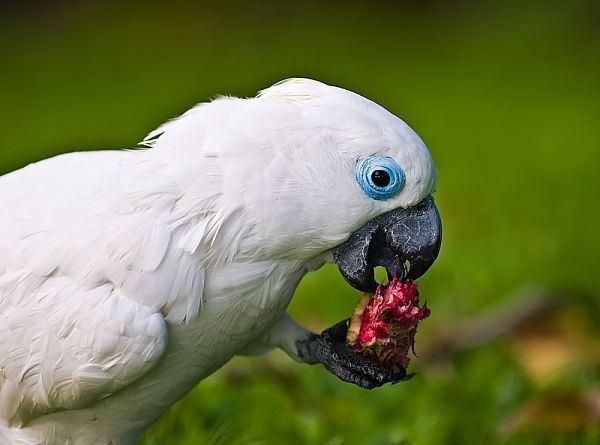 Blue-eyed cockatoo BlueEyed Cockatoo Fantastic Pet Encyclopedia UK