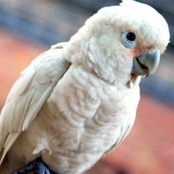 Image result for Blue eyed cockatoo