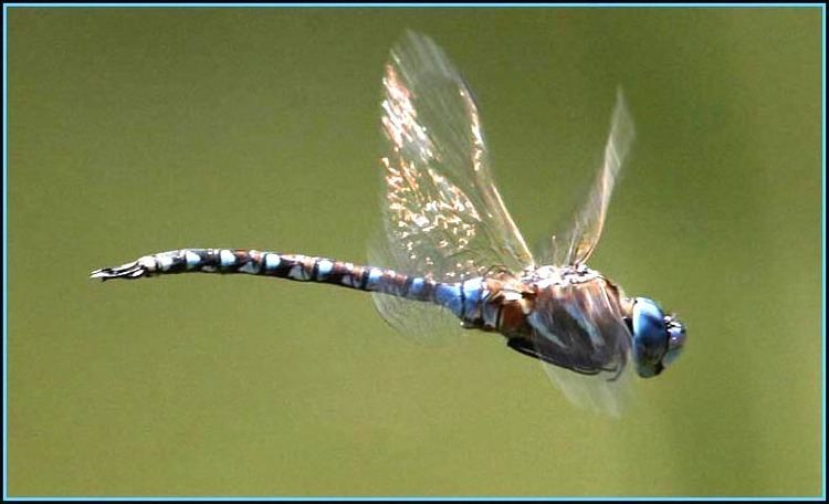 Blue-eyed darner Blueeyed Darner