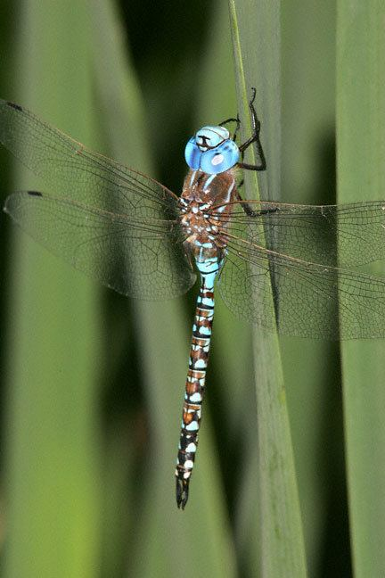 Blue-eyed darner Blueeyed Darner Rhionaeschna multicolor