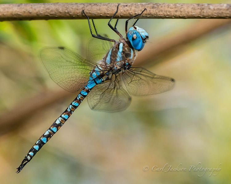 Blue-eyed darner Blueeyed Darner Rhionaeschna multicolor cbjphoto Flickr