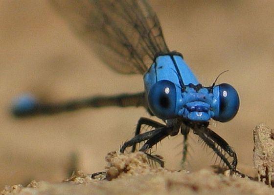 Blue-fronted dancer bugguidenetimagesraw2RKHMR2RKHMR3Z2ROL0ZOLMZ