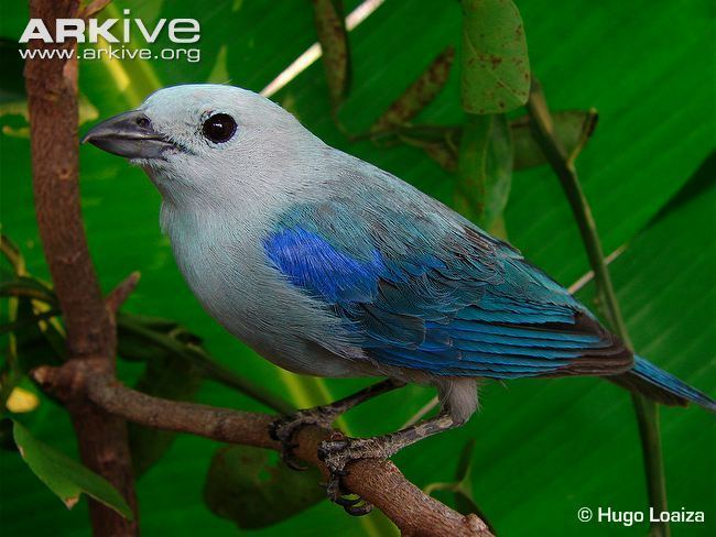 Blue-gray tanager Bluegrey tanager photo Thraupis episcopus G94947 ARKive