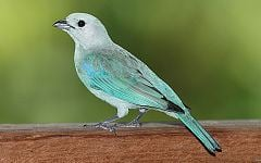 Blue-gray tanager Bluegray tanager Wikipedia