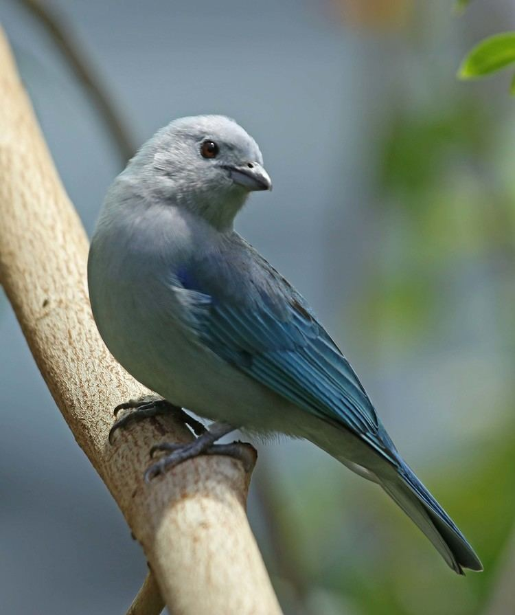 Blue-gray tanager Pictures and information on Bluegray Tanager