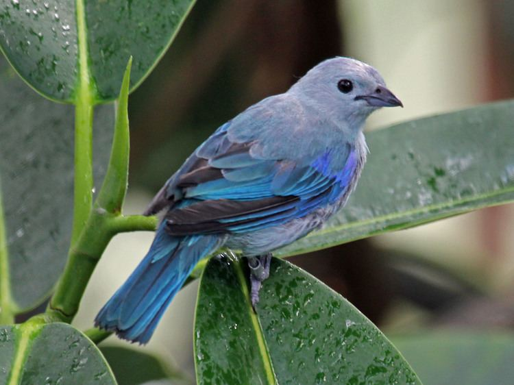 Blue-gray tanager FileBluegray Tanager RWD3jpg Wikimedia Commons