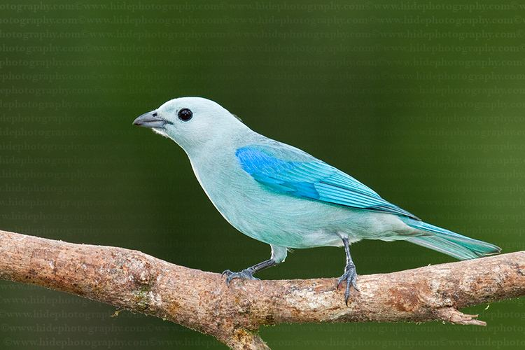 Blue-gray tanager HidePhotography Home