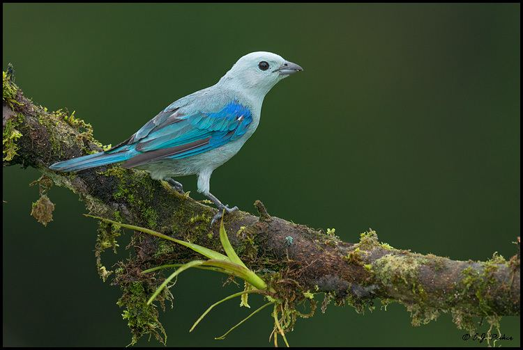 Blue-gray tanager Bluegray Tanager Page