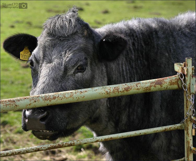 Blue Grey cattle