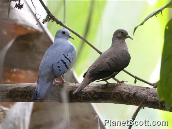 Blue ground dove Blue GroundDove Claravis pretiosa PlanetScottcom