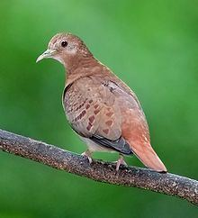 Blue ground dove httpsuploadwikimediaorgwikipediacommonsthu