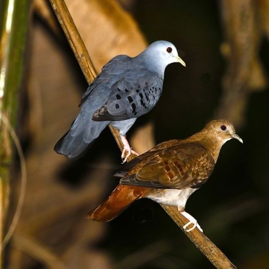 Blue ground dove Blue Ground Dove BirdForum Opus