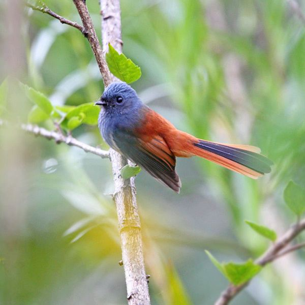 Blue-headed fantail Surfbirds Online Photo Gallery Search Results