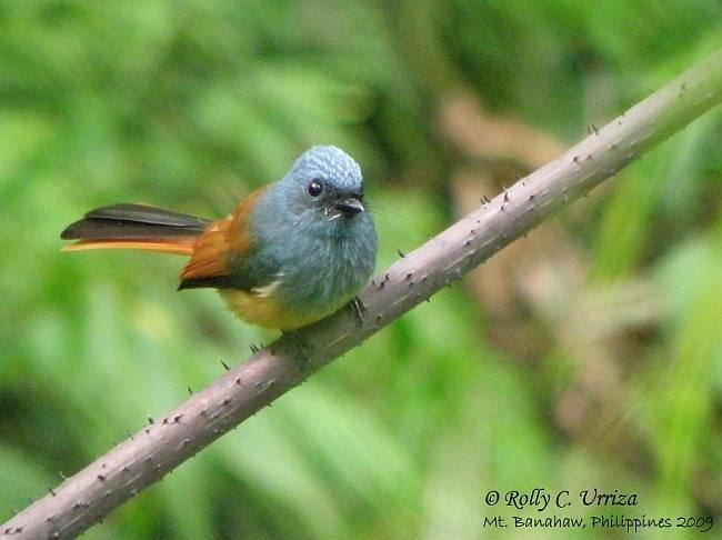 Blue-headed fantail Oriental Bird Club Image Database Blueheaded Fantail Rhipidura