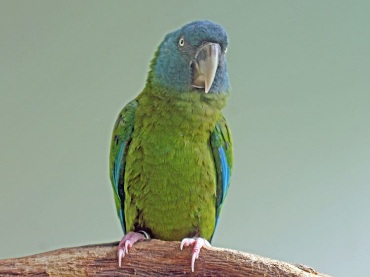 Blue-headed macaw FileBlueheaded Macaw RWD3jpg Wikimedia Commons