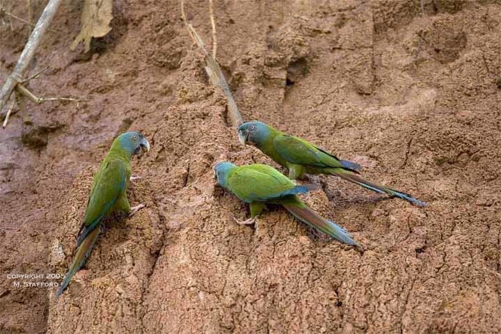 Blue-headed macaw PARROTS INTERNATIONAL