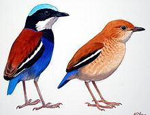 Blue-headed pitta httpsuploadwikimediaorgwikipediacommonsthu