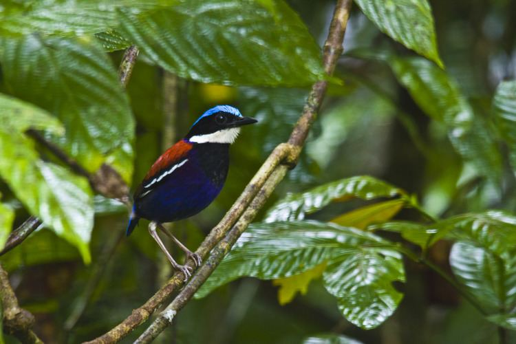 Blue-headed pitta Blueheaded Pitta Hydrornis baudii Got amazing views and Flickr
