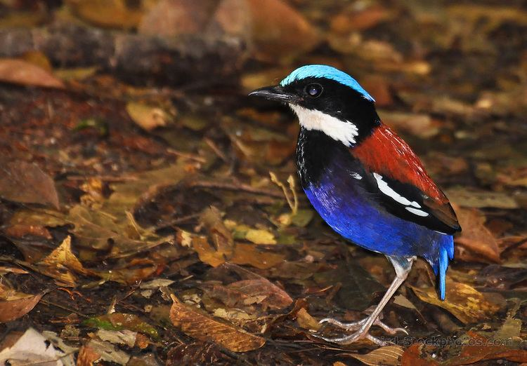 Blue-headed pitta Blueheaded Pitta Hydrornis baudii Danum Valley Borneo Bird