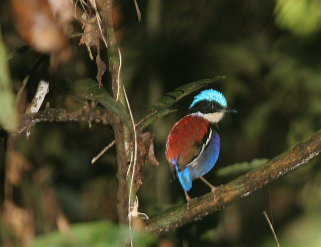 Blue-headed pitta Oriental Bird Club Image Database Blueheaded Pitta Pitta baudii