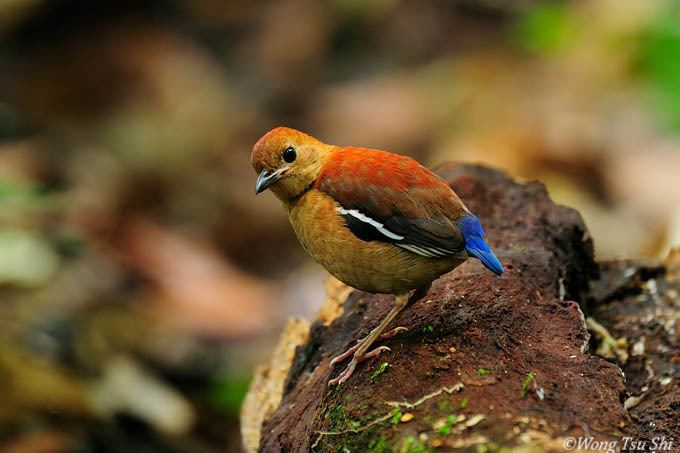 Blue-headed pitta Pitta baudii Blueheaded Pitta photo Wong Tsu Shi photos at