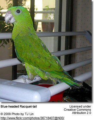 Blue-headed racket-tail Blueheaded Rackettailed Parrot aka Palawan Racquettail Parrot