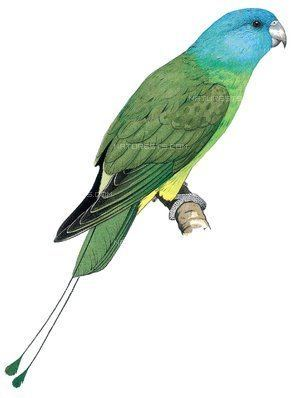 Blue-headed racket-tail Blueheaded Racquettail Prioniturus platenae Birds Pets