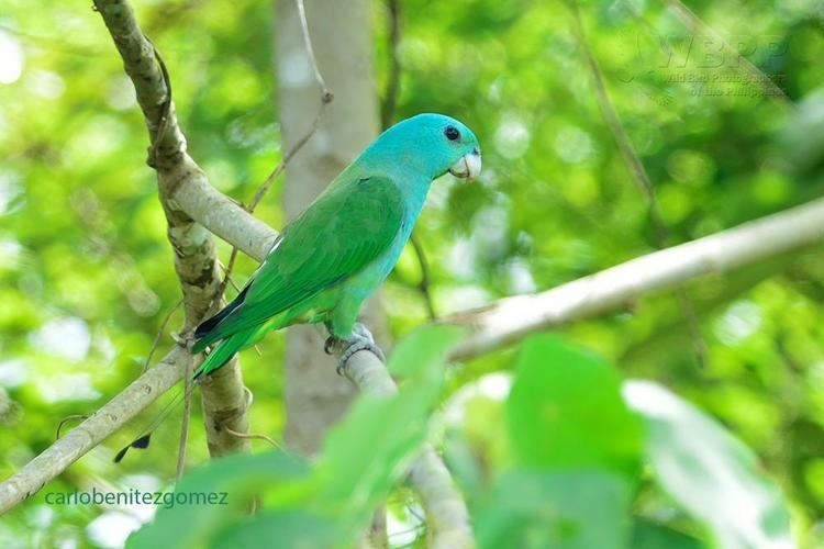 Blue-headed racket-tail Blueheaded Racquettail Prioniturus platenae videos photos and
