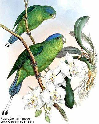 Blue-headed racket-tail httpswwwbeautyofbirdscomimagesbirdsparrots