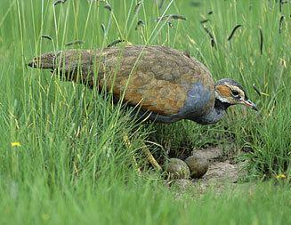 Blue korhaan wwwbiodiversityexplorerorgbirdsotitidaeimages