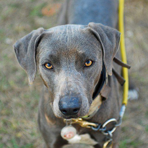 Blue Lacy What Is a Lacy Dog aka Blue Lacy PetHelpful