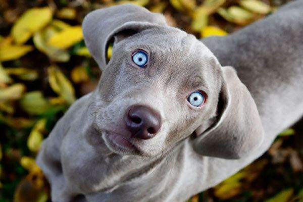 Blue Lacy Blue Lacy TemperamentNamesRescueAdoption