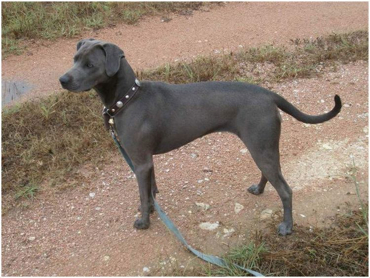 Blue Lacy Blue Lacy Dog Facts Pictures Puppies Breeders Price
