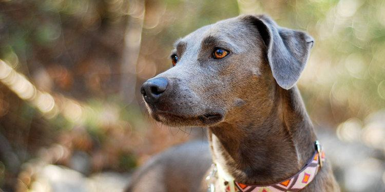 Blue Lacy Blue Lacy breed info Pictures HypoallergenicNo