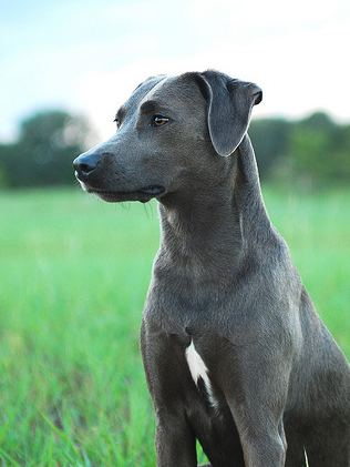 Blue Lacy httpsuploadwikimediaorgwikipediacommons22