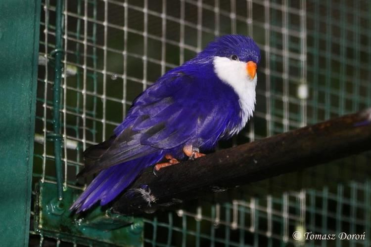 Blue lorikeet Photos of Blue Lorikeet Vini peruviana the Internet Bird