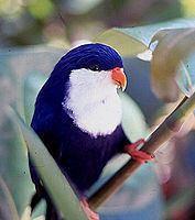 Blue lorikeet httpsuploadwikimediaorgwikipediacommonsthu