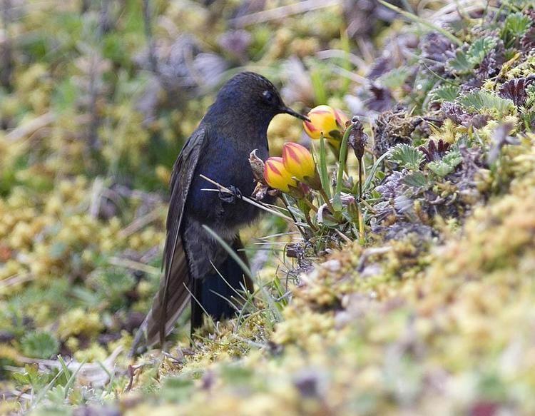 Blue-mantled thornbill Bluemantled Thornbill Chalcostigma stanleyi videos photos and