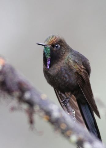 Blue-mantled thornbill Surfbirds Online Photo Gallery Search Results