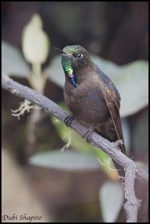 Blue-mantled thornbill Bluemantled Thornbill Chalcostigma stanleyi Bird perched in heavy