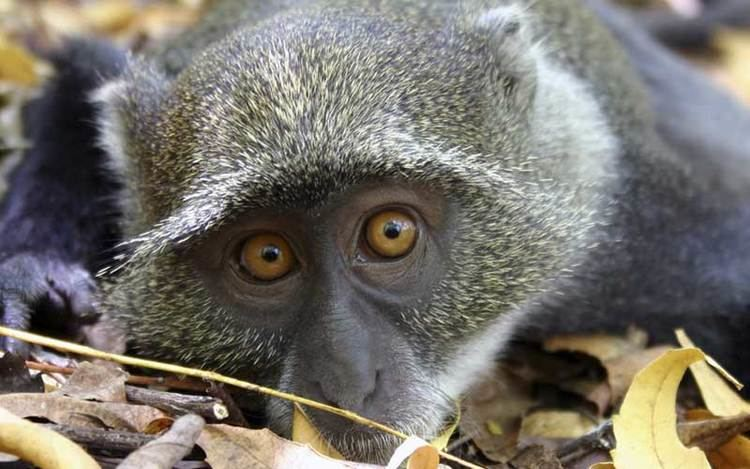 Blue monkey Blue Monkey Monkey Facts and Information
