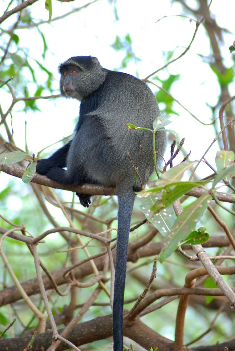 Blue monkey httpsuploadwikimediaorgwikipediacommons88