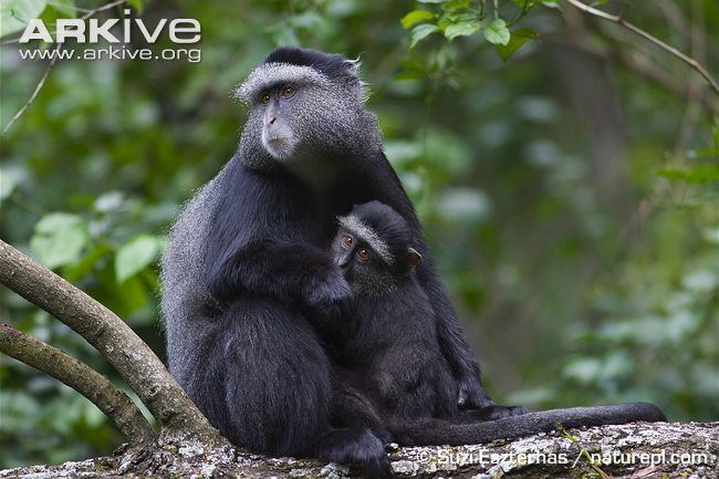 Blue monkey Blue monkey photo Cercopithecus mitis G84567 ARKive