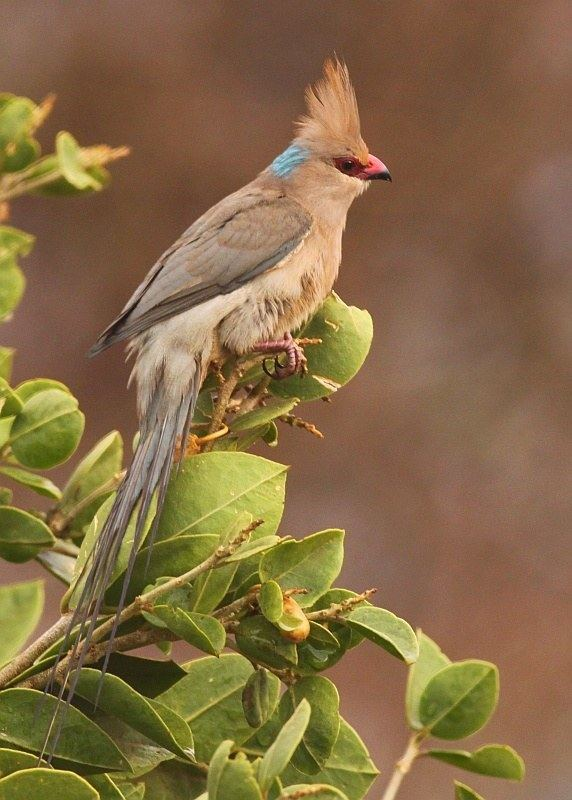 Blue-naped mousebird Surfbirds Online Photo Gallery Search Results
