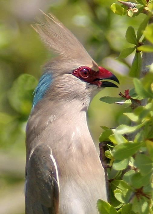 Blue-naped mousebird Bluenaped Mousebird Urocolius macrourus videos photos and sound