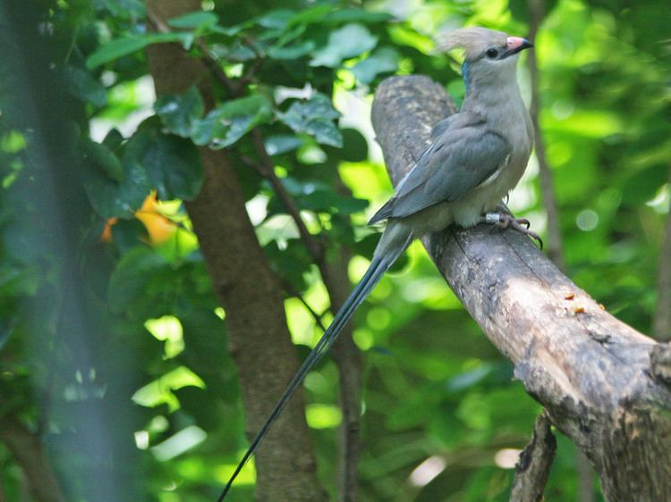 Blue-naped mousebird FileBluenaped Mousebird SMTCjpg Wikimedia Commons