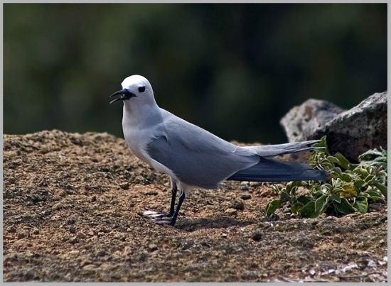 Blue noddy Grey Noddy BirdForum Opus